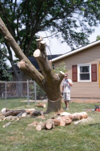 Tree Removal - Safely droping a tree - tall tree